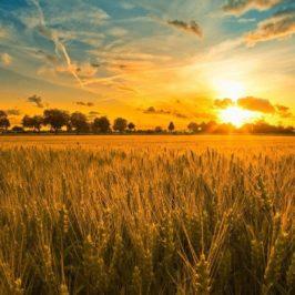 Le merveilleux champ de blé de nos impatiences